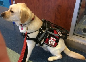 Koda Physical Assistance Service Dog